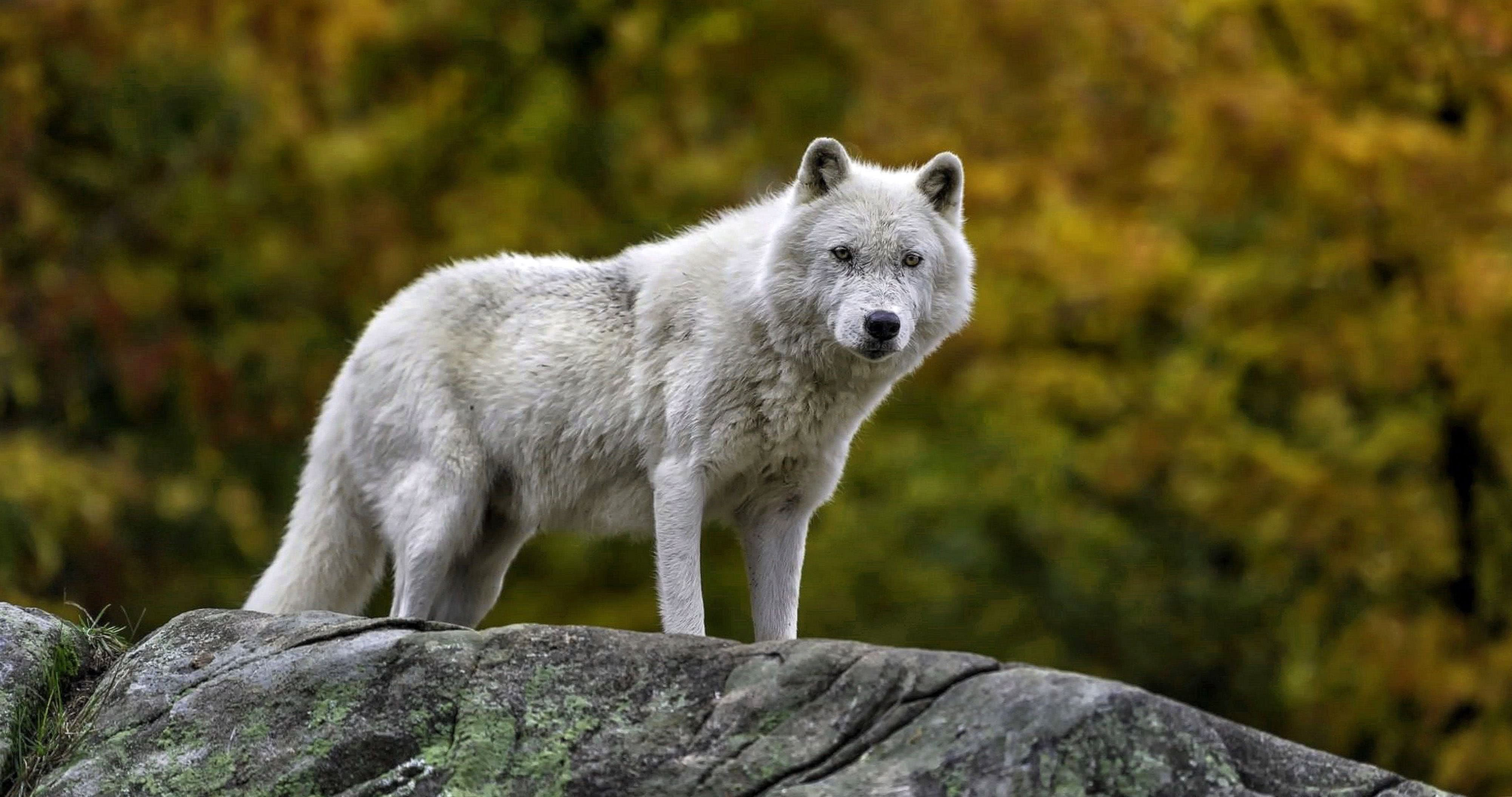 Wolf White Wallpapers 4K