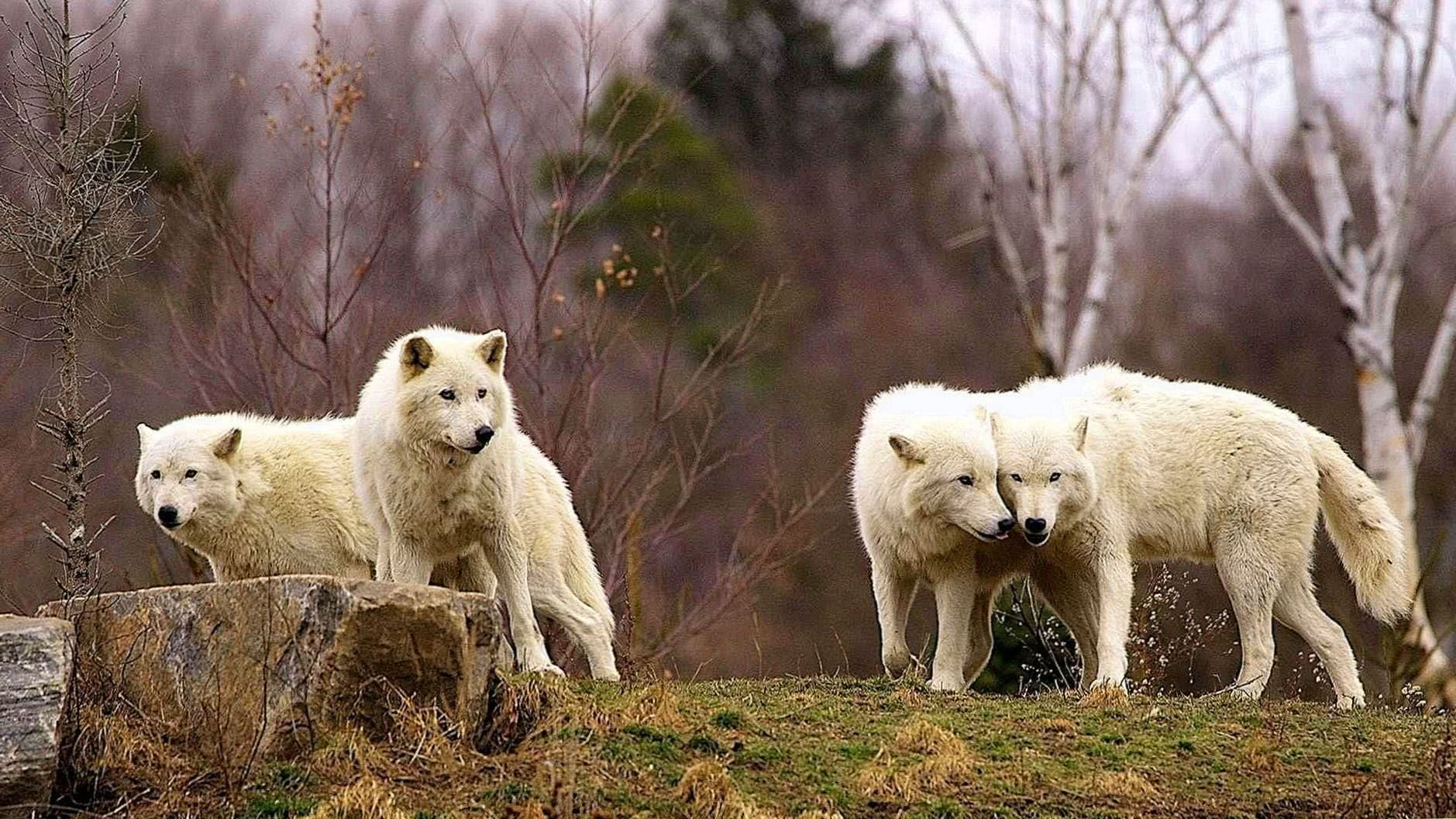 The Arctic Wolf Wallpaper