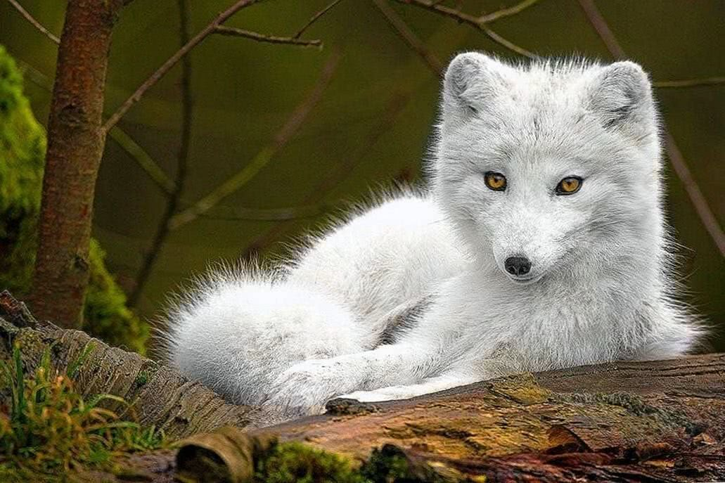 Wolf Baby Wallpaper