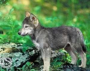 Wolf Puppies Wallpapers