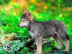 Wolf Pups Wallpapers
