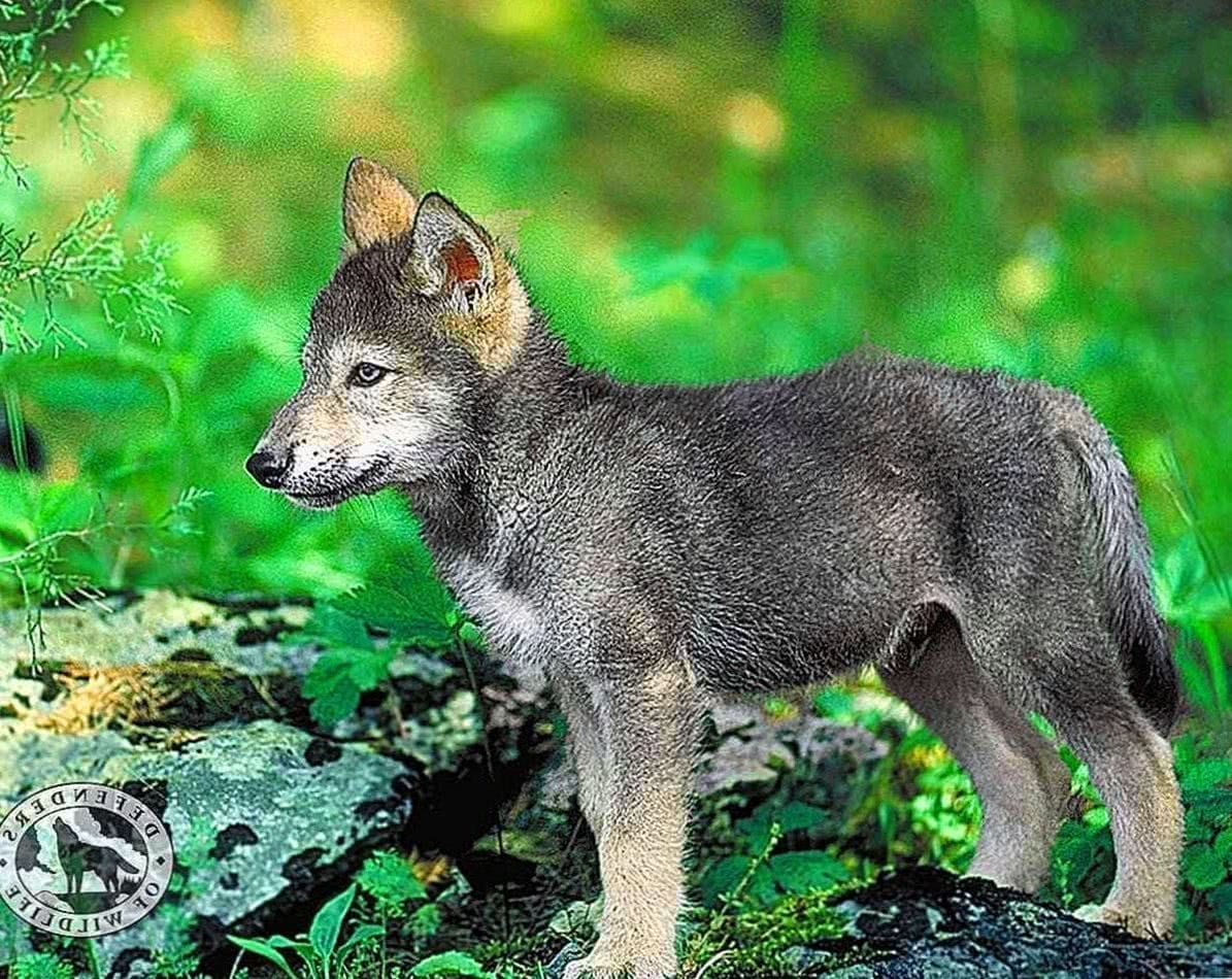 Mobile Baby Wolf Wallpaper