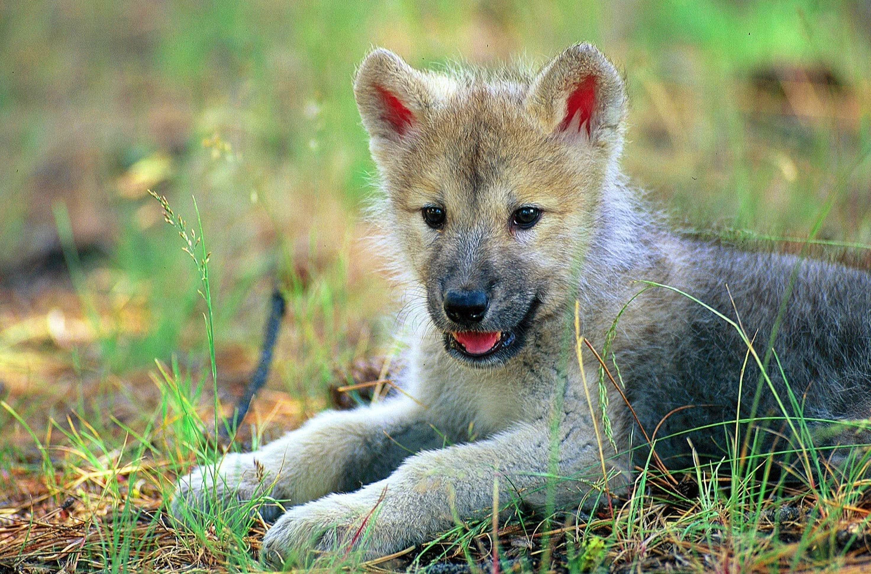 baby wolf wallpapers wallpaper cave 34 wolf wallpapers.pro