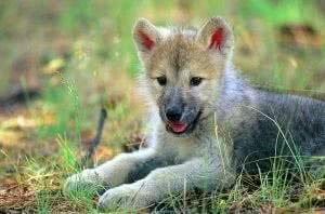 Gray Wolf Pups Wallpapers