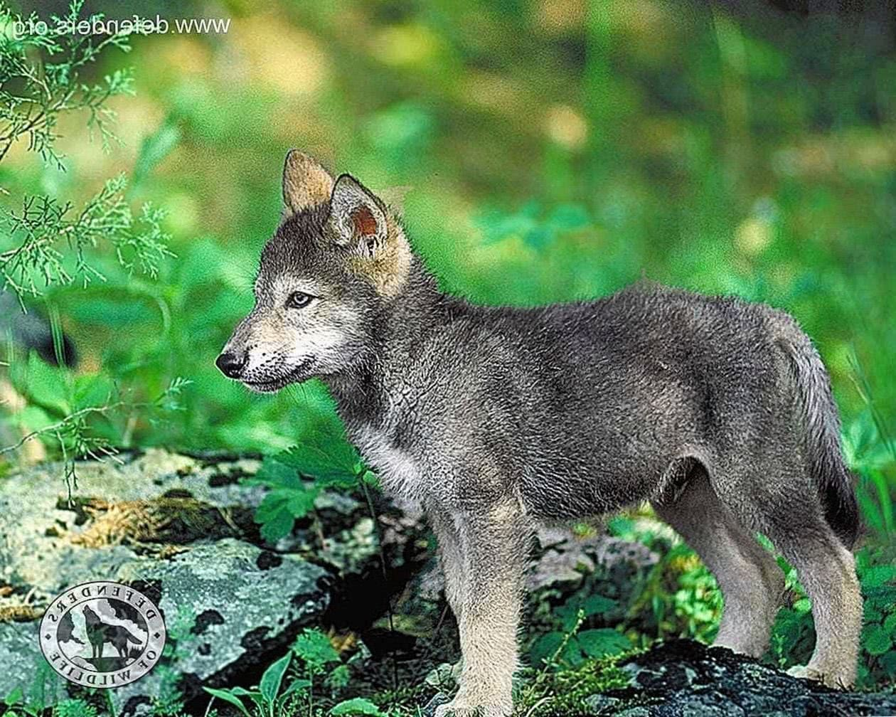 Wolf Baby Wallpapers