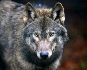 Wolf Wallpapers UK