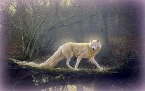 Beautiful White Wolf Wallpapers