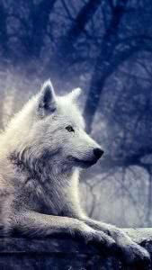 Game Of Thrones Dire Wolf Wallpapers