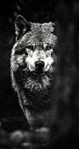 Lone Wolf Wallpapers Android