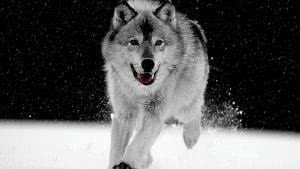 Black And White Wolf Wallpapers Desktop