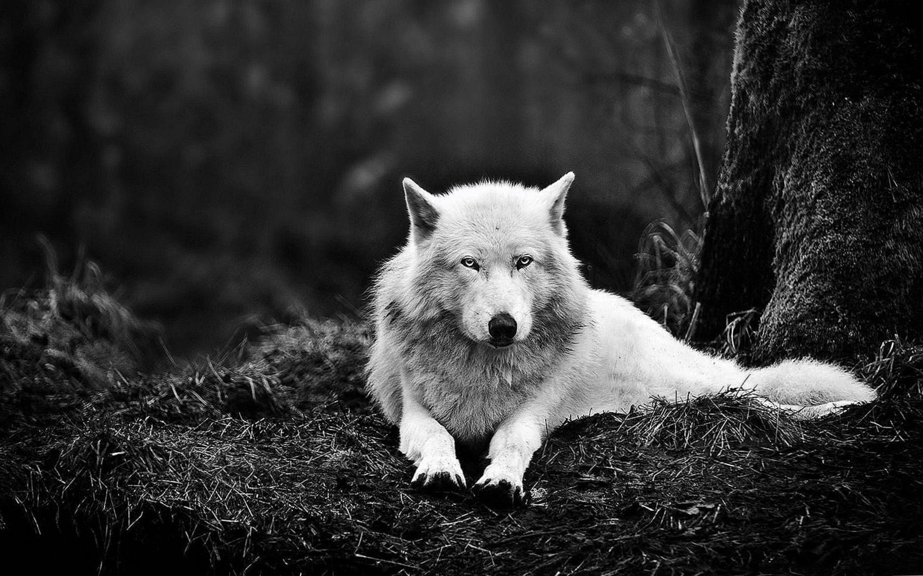 Wolf Black And White Wallpaper