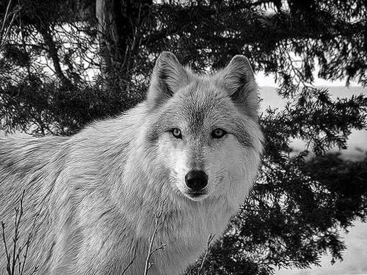 Beautiful Wolf Wallpaper HD