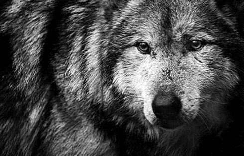 Wolf Wallpapers Black And White