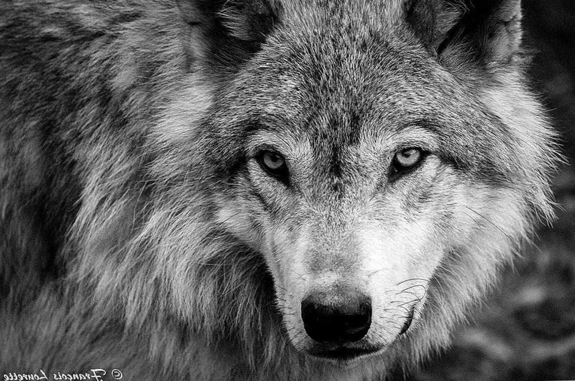 Black And White Wolves Together Wallpaper
