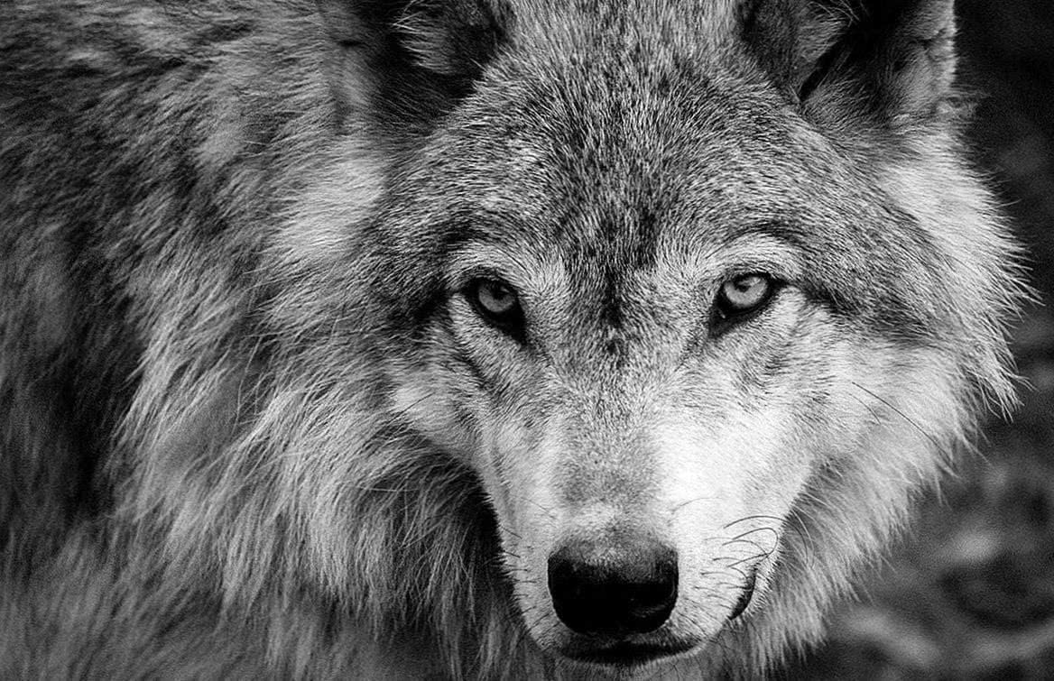 Black And White Wolves Wallpapers Wolf Wallpapers Pro