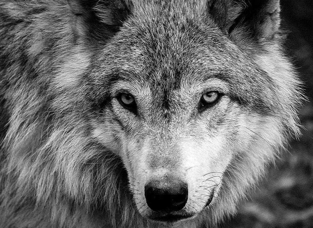Black White Wolf Wallpapers Wolf Wallpapers Pro