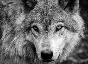 Black White Wolf Wallpapers