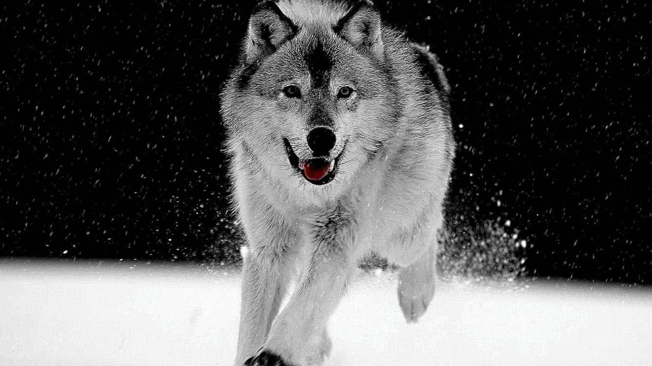 White Wolf Background Wallpapers