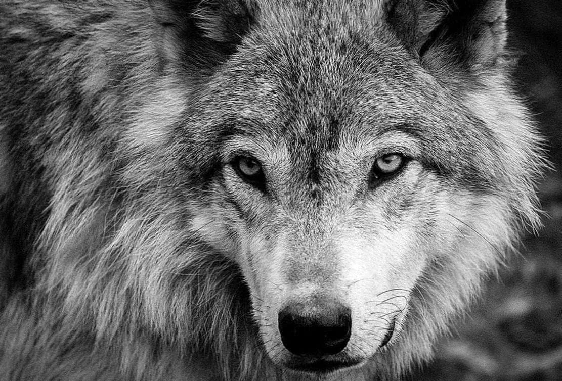 White Wolf Images Wallpapers