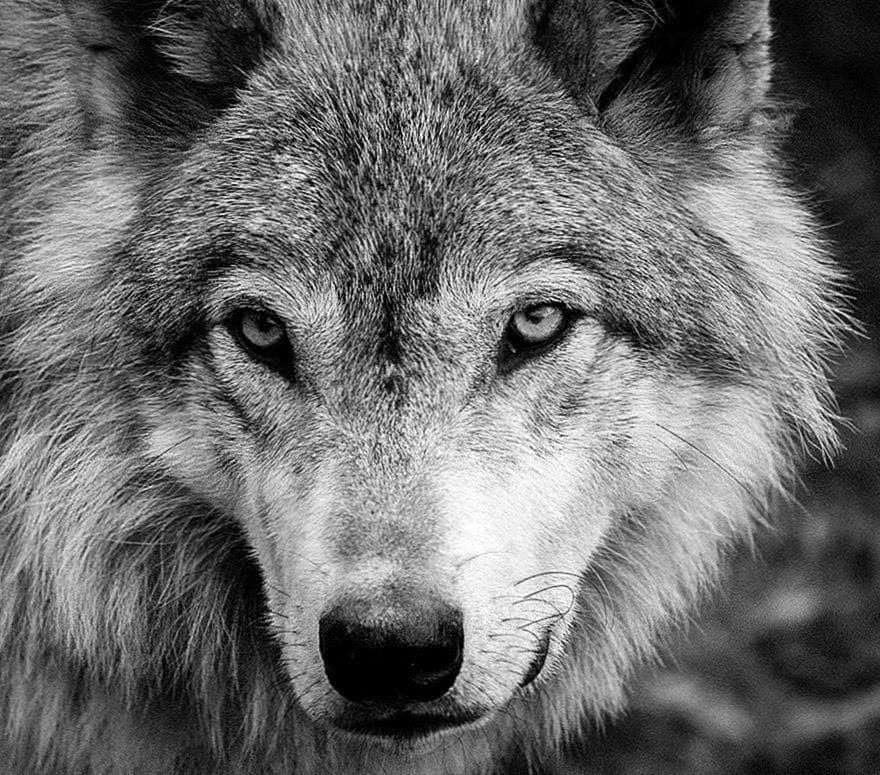 Wolf And Black Wallpaper