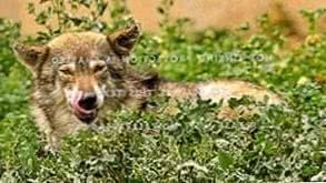 Black Timber Wolf Wallpapers