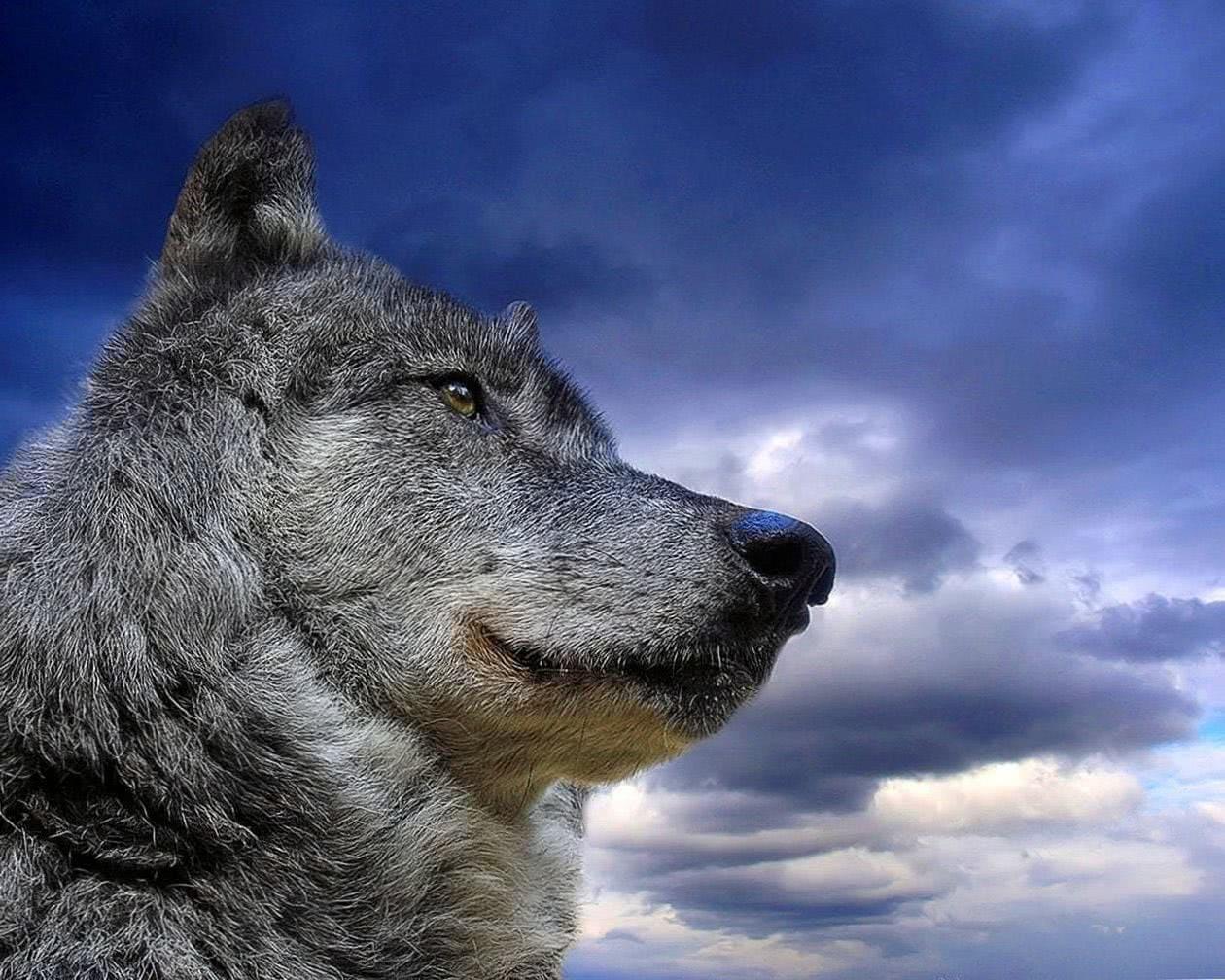 Wolf Dangerous Wallpaper HD