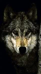 Black Wolf Wallpapers Cell Phone
