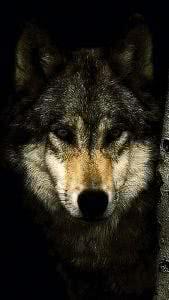 Dark Wolf HD Phone Wallpapers