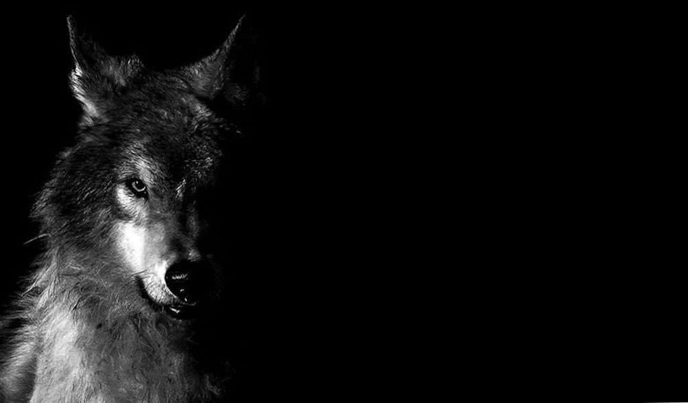 Black Wolf Face HD Wallpaper
