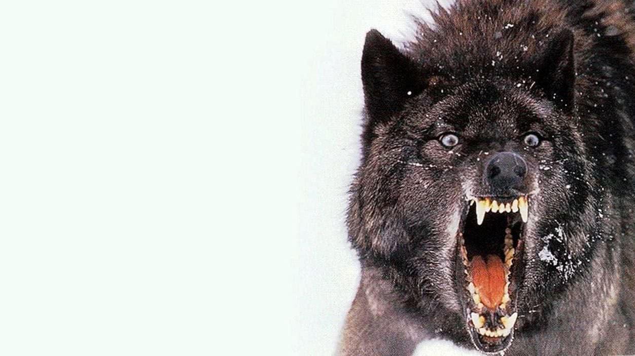 Wallpapers Schwarzer Wolf