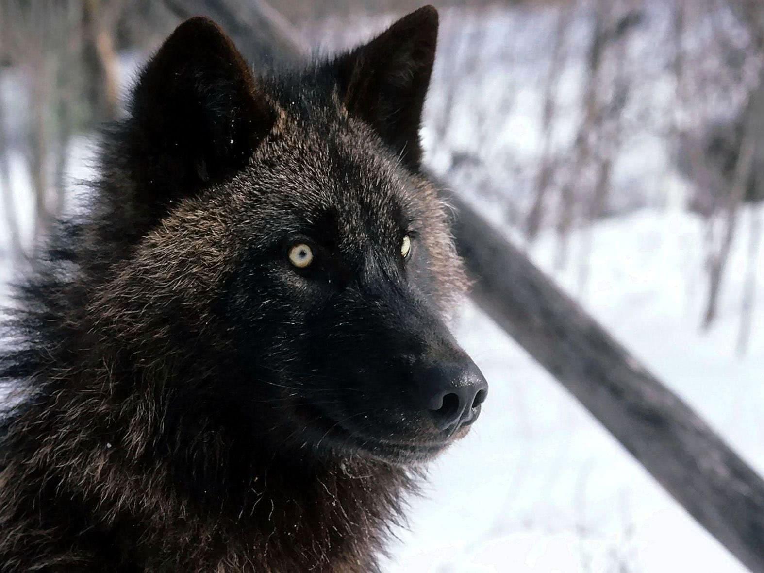 Live Wallpaper Black Wolf