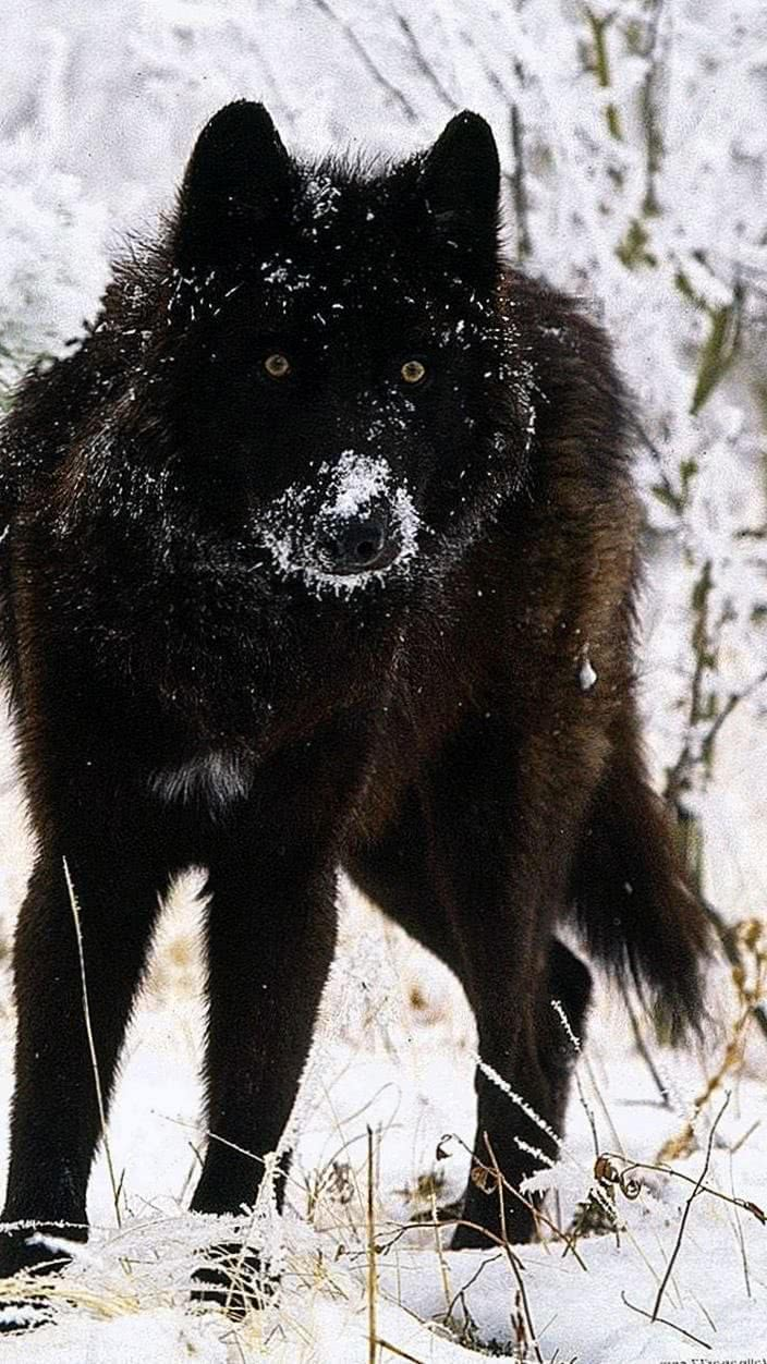 Black Wolf Wallpapers 720x1280