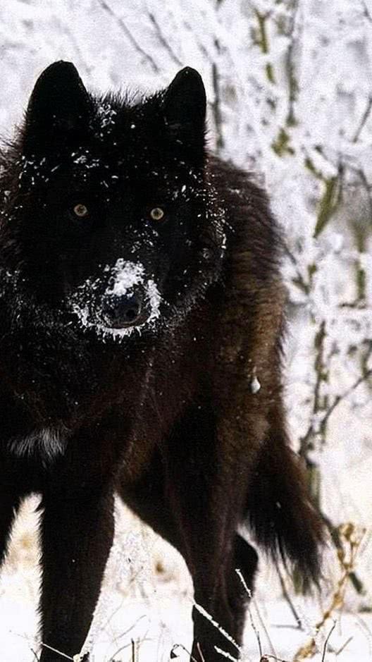Black Wolf Wallpaper HD Phone