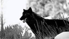 Schwarzer Wolf HD Wallpapers