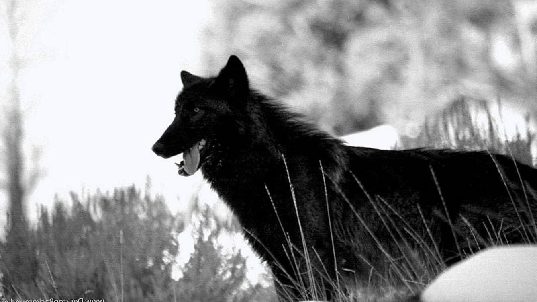 Danger Wolf HD Wallpaper