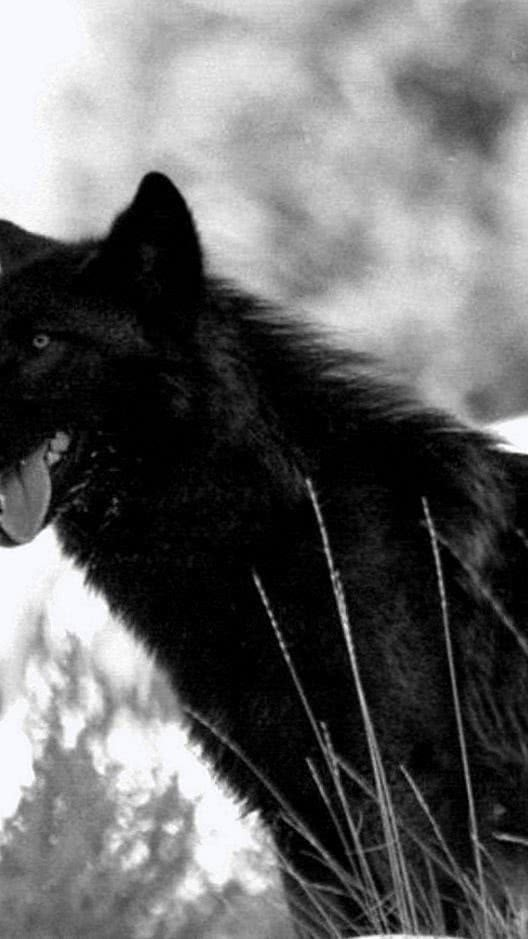 540×960 Wallpapers HD Wolf