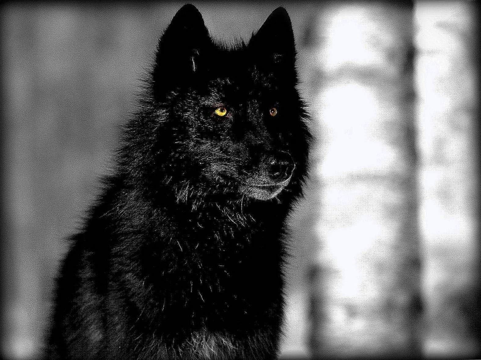 Black Wolf With Blue Eyes Wallpapers