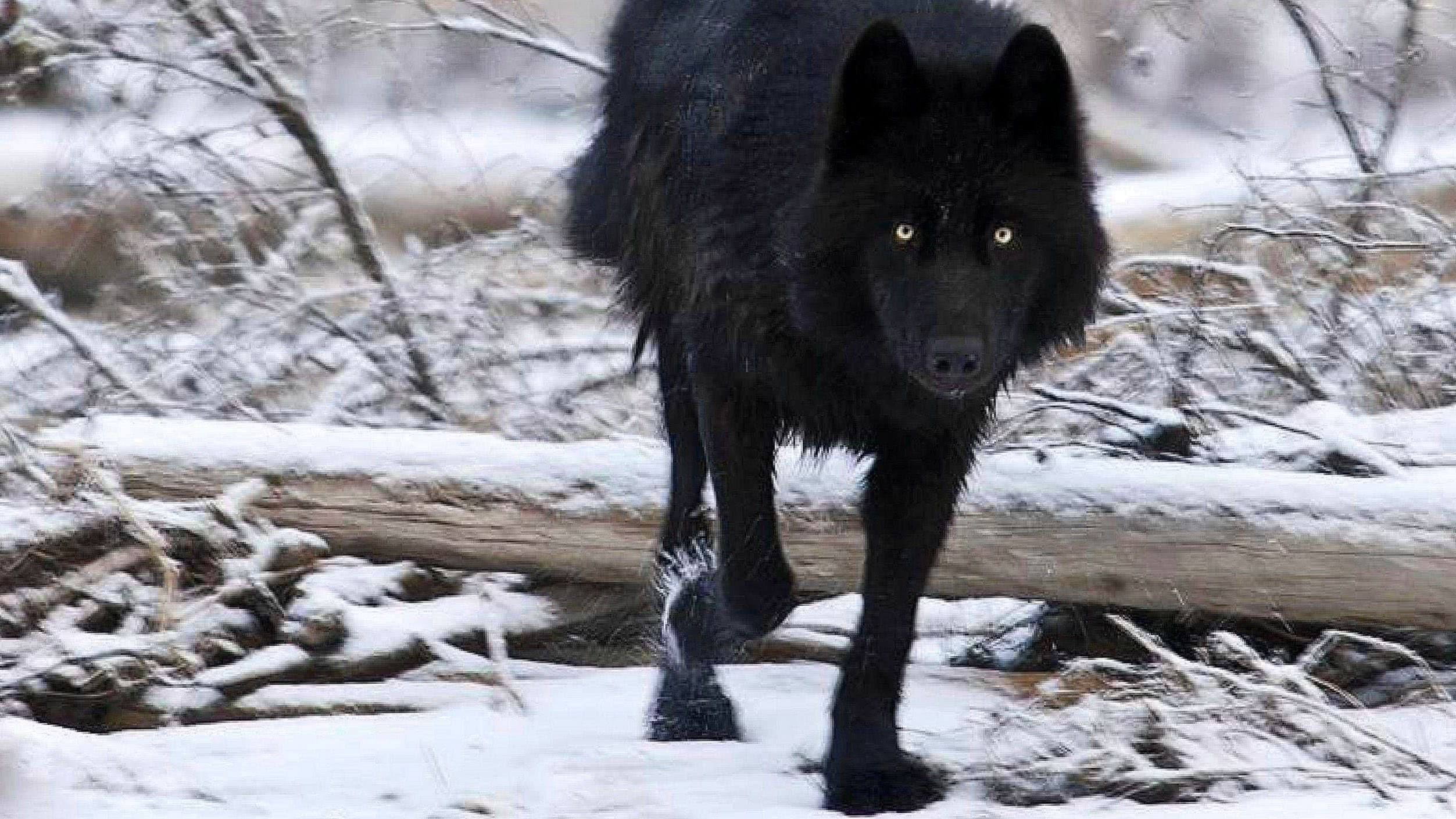 Black Wallpapers Wolf