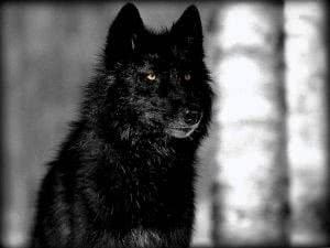 Pics Of A Black Wolf Wallpapers