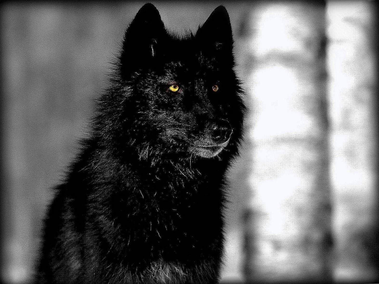 Black And White Wolf Wallpaper Desktop