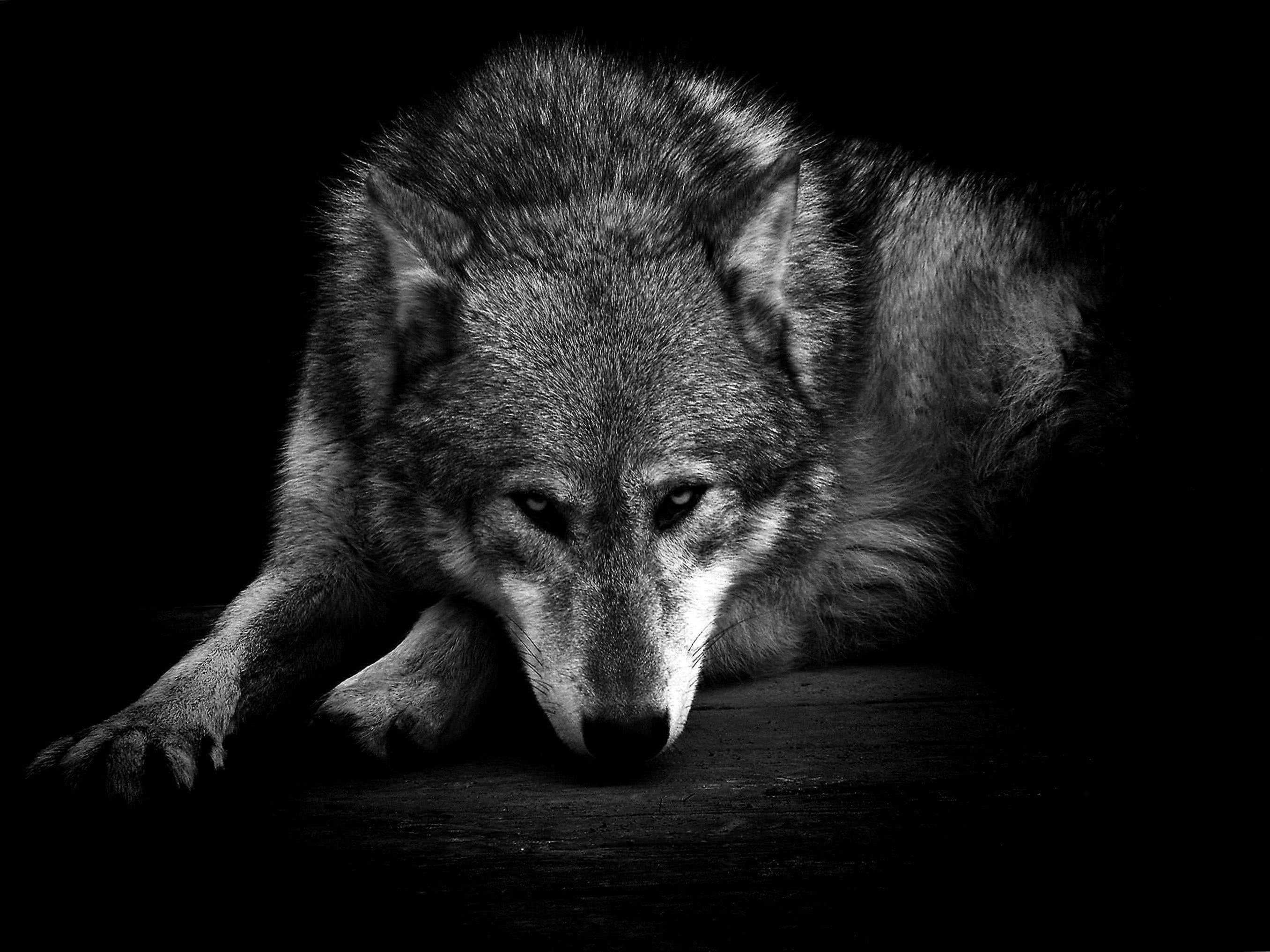 Wolf Wallpaper HD Black