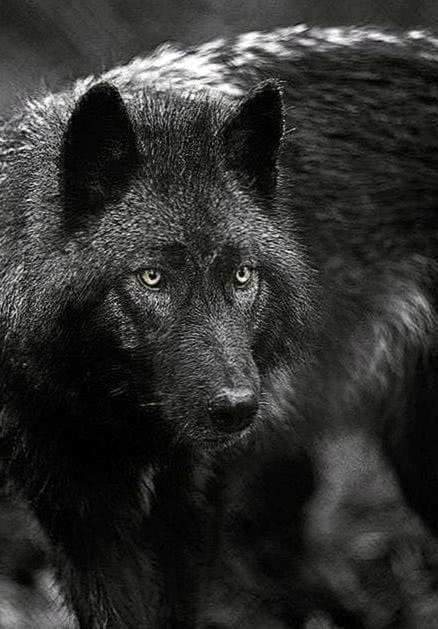 Black Wolf Wallpaper iOS