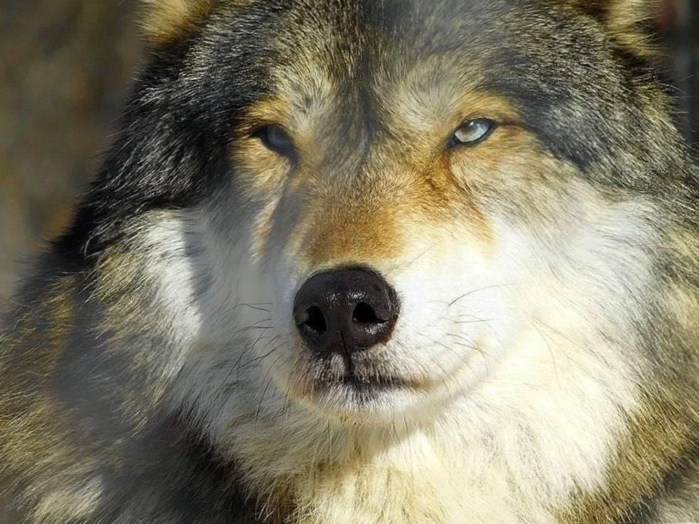 Blue Eyed Wolves Wallpaper