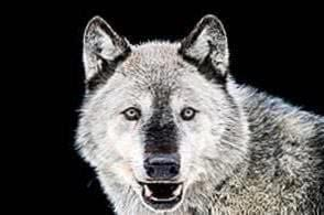 Pics Of A Gray Wolf Wallpapers
