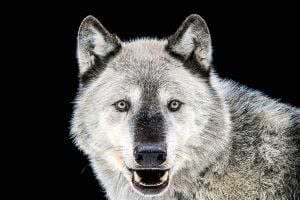 Wolf Wallpapers Style