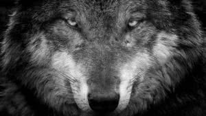 Cool Dark Wolf Wallpapers 4K
