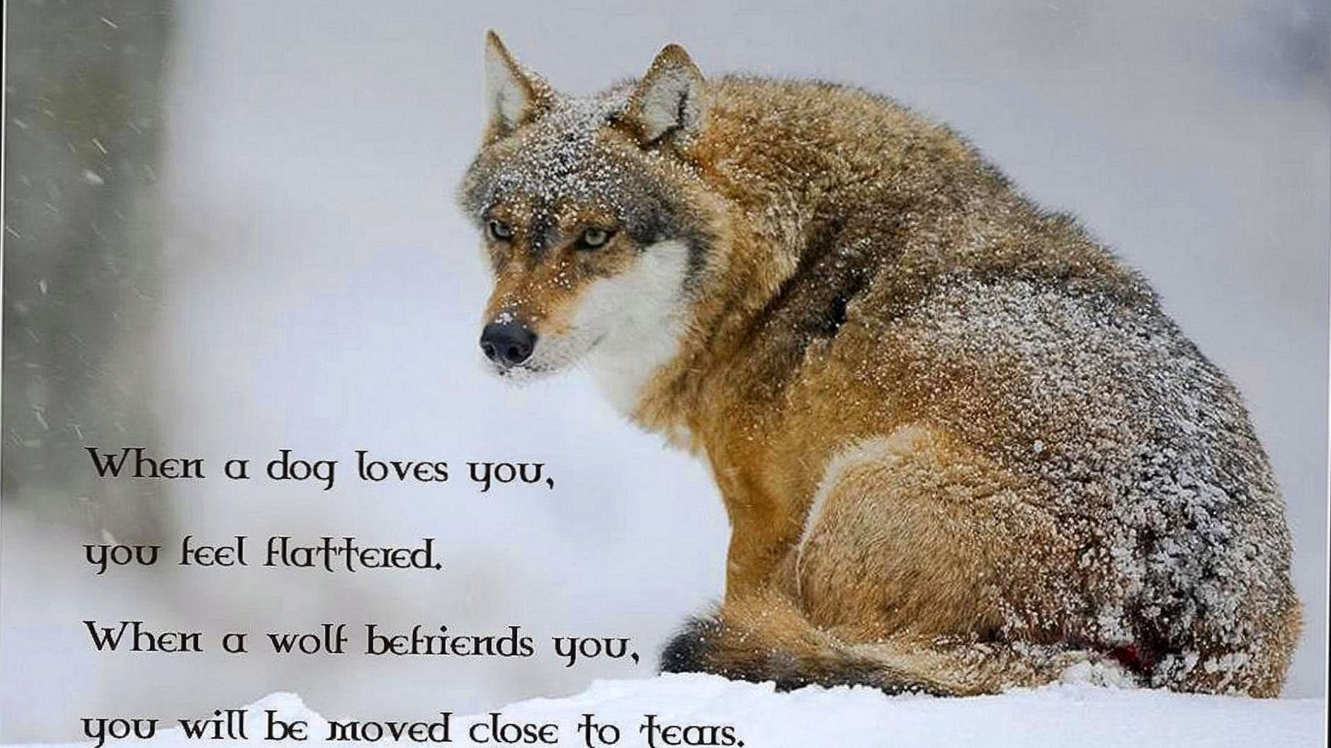 Wolf Wallpapers HD With Quotes