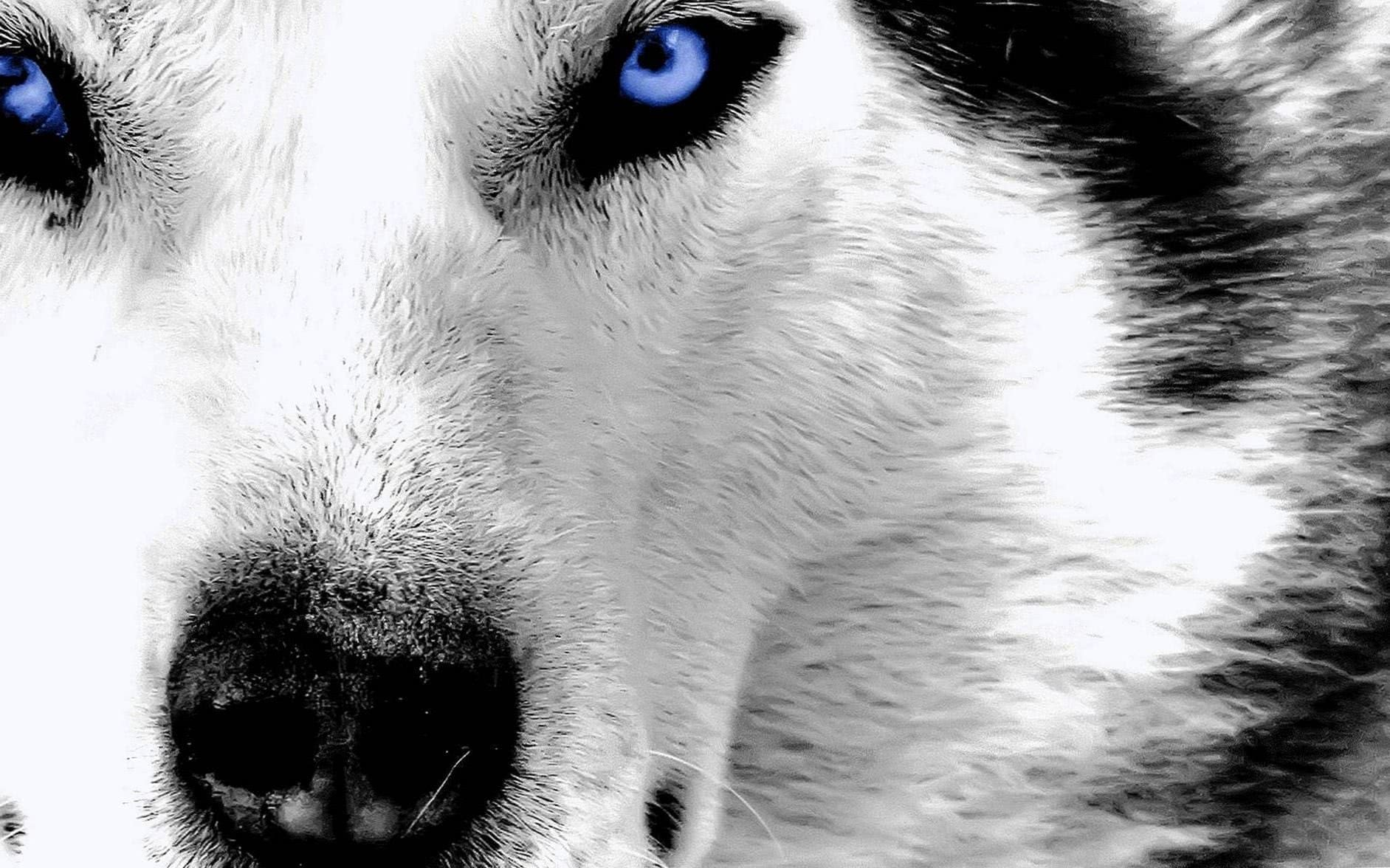 Wallpaper Wolf Cool