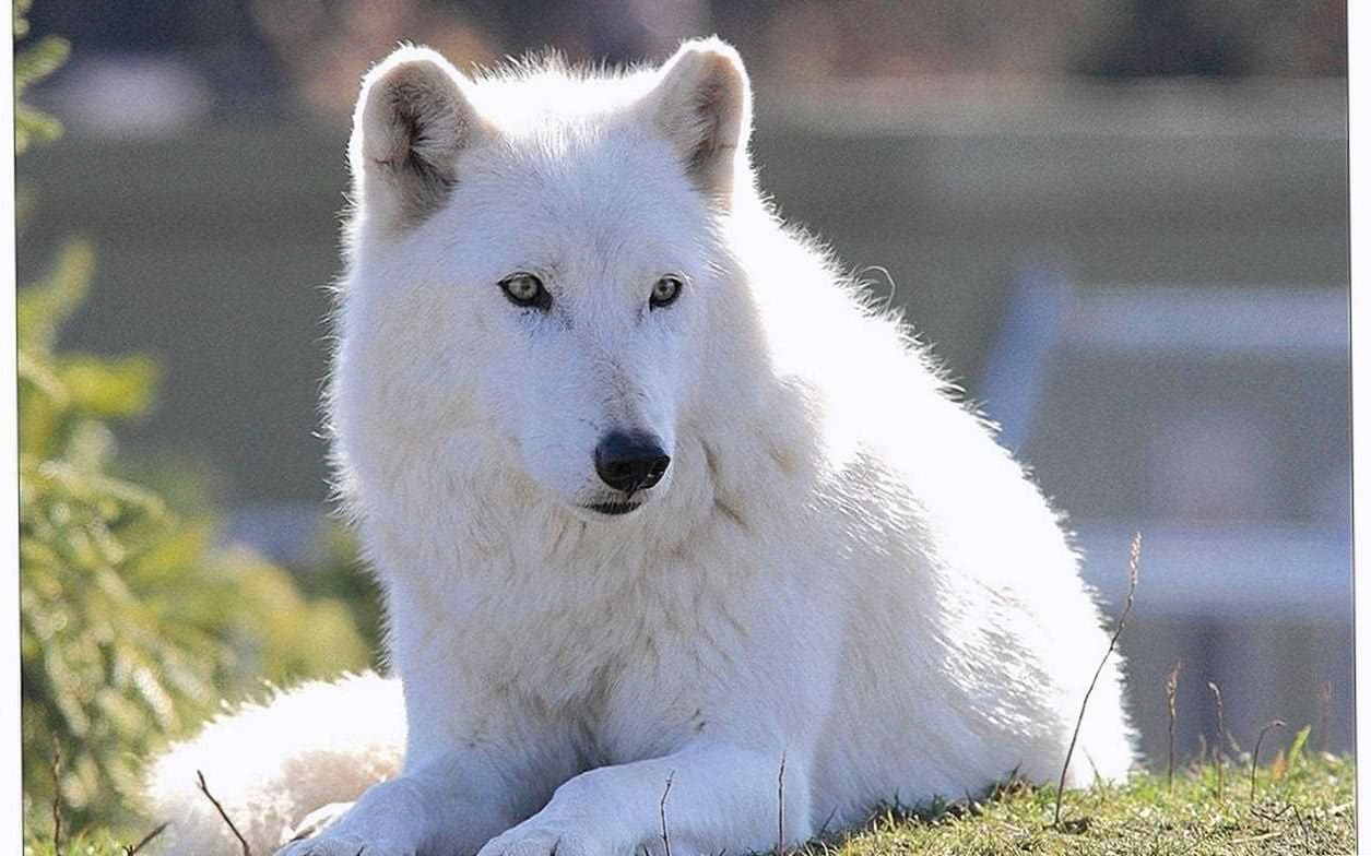 Cute Arctic Wolf Wallpaper