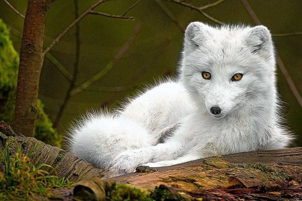 Cute White Wolf Wallpapers